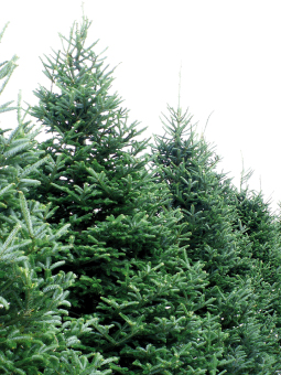 bringing your tree home - Live Christmas Trees