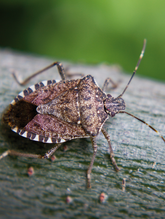 Overwintering House Pests: How to Send Stink Bugs, Ladybugs, and Boxelder Bugs Packing