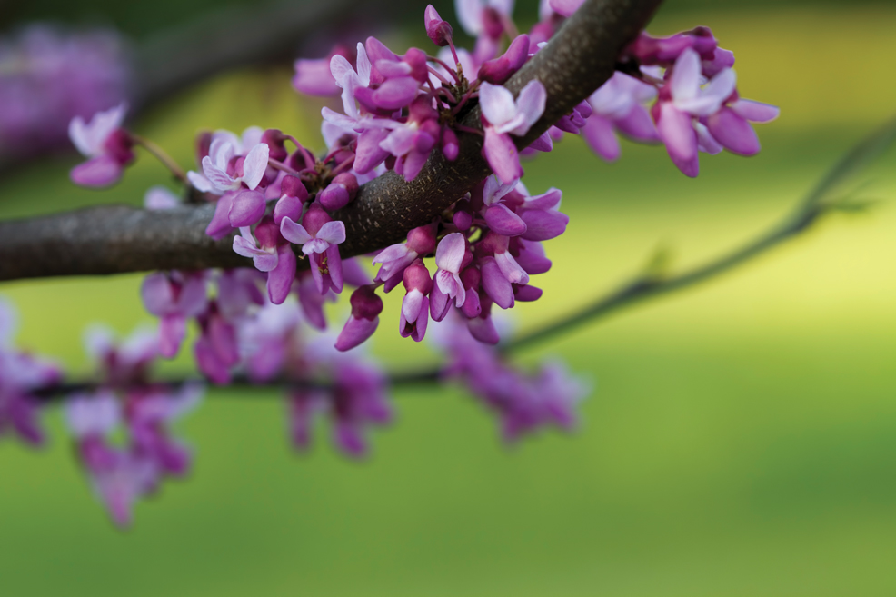 The Belle Of The Ball: Eastern Redbuds take Center Stage