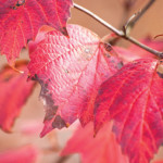 Spectacular Shrubs for Fall: Bloom in Spring, Color in Fall