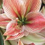 The Elegant Amaryllis | A Perfect Holiday Gift