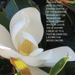 The Gem of the Landscape | Five Reasons to Love Southern Magnolias