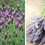 Lavender The Wonder Plant