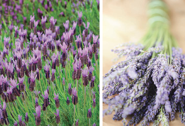 There Really Isn T A Bad Companion Plant For Lavender As Long That Likes Well Drained Soil And Lots Of Sun