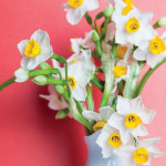 Sound Off to Spring | The Comely Daffodil is the Season's Trumpeter