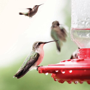 GARDEN_Hummingbirds1