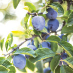 Landscaping with Fruit Trees | Add Beauty, Bounty and Value