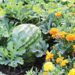 Winning Combinations | Companion Planting in the Vegetable Garden